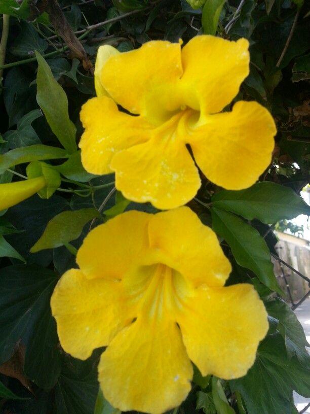 Yellow flower vine jardines flores etc pinterest flower vines yellow flower vine mightylinksfo