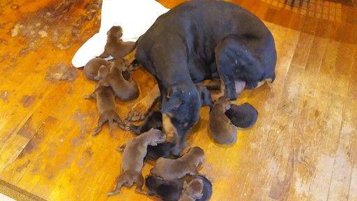 Litter Of 9 Doberman Pinscher Puppies For Sale In Miami Ok Adn