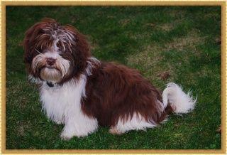Lovelink Havanese Breeder In Vancouver Wa Havanese Breeders Havanese Havanese Dogs