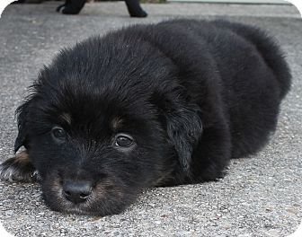 Success Adopted Australian Shepherd Rottweiler Mix Puppy For