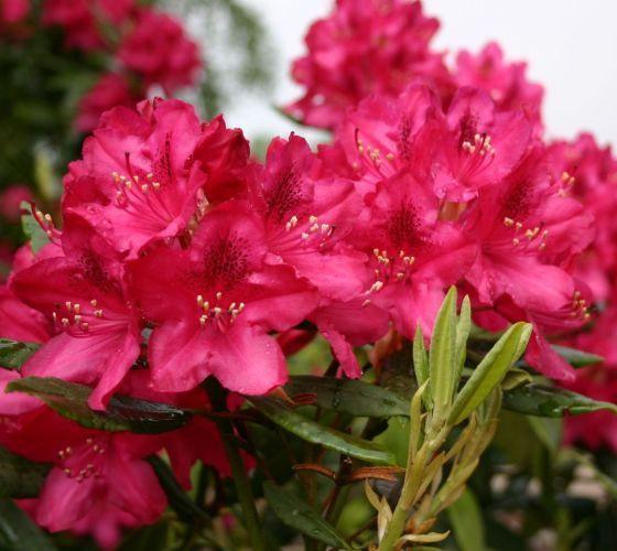 nova zembla red rhododendron rhododendron nova zembla 39 nova zembla 39 is one of the iron clad. Black Bedroom Furniture Sets. Home Design Ideas