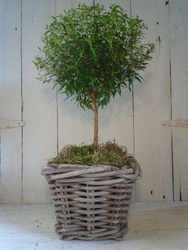 Myrtle in Basket