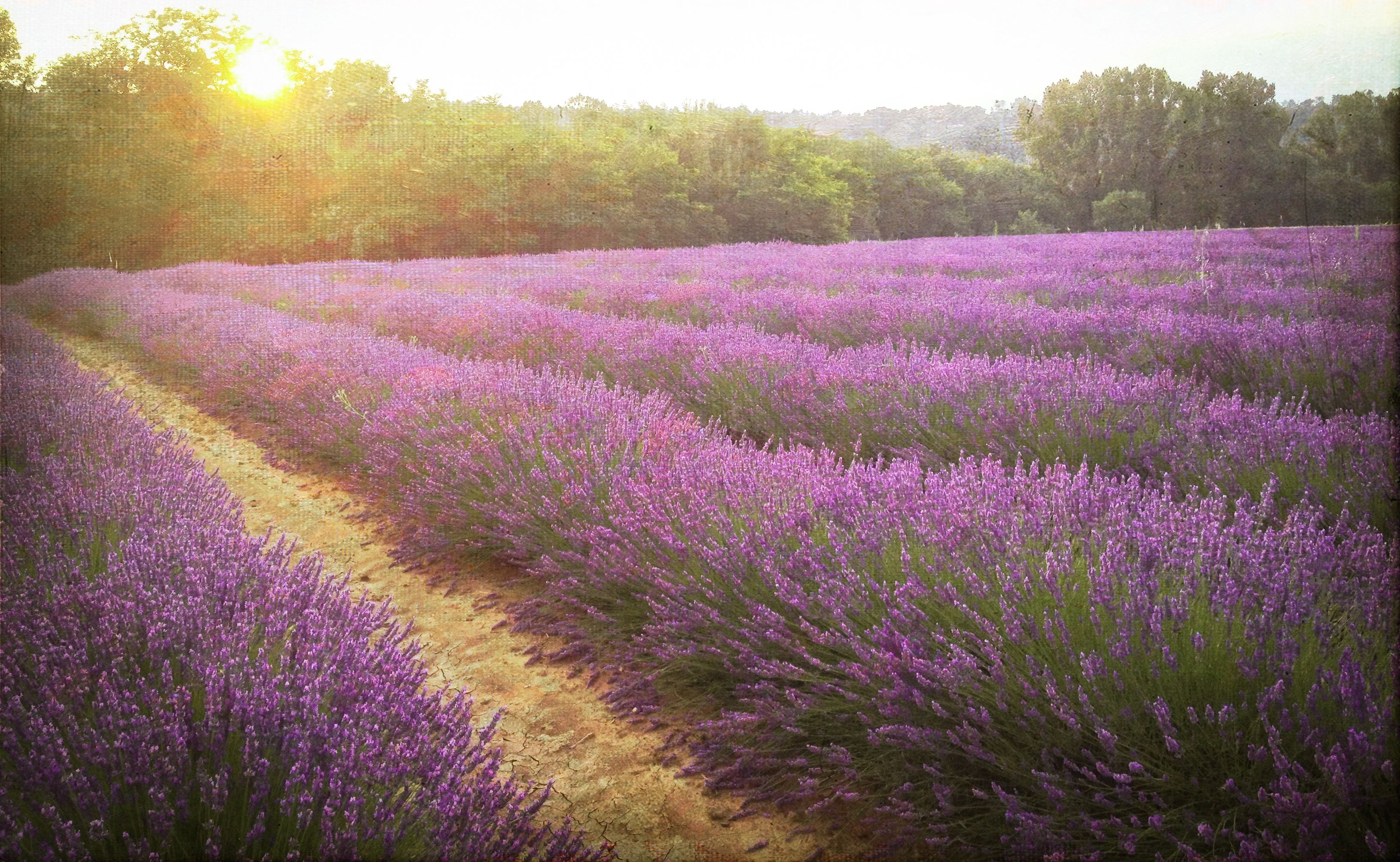 Lavender fields near me southern france lavender