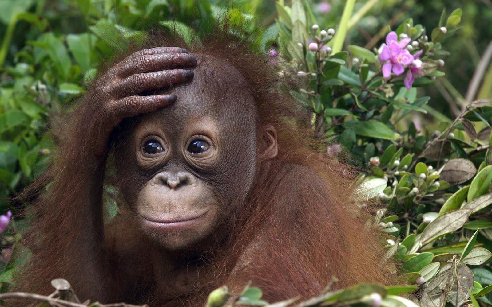 orangutan pictures HD animal wallpaper of a orangutan baby HD