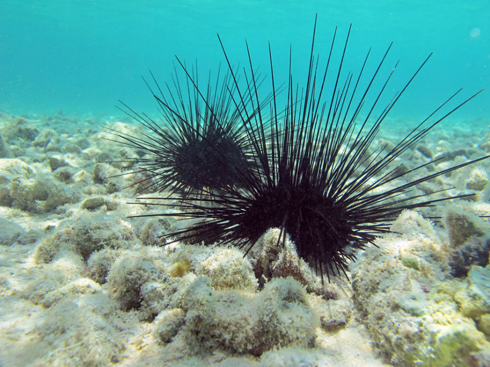 Diadema Antillarum Also Known As The Lime Urchin Black Sea Urchin Or The Long Spined Sea Urchin Black Sea Urchin Ocean Life Photography Ocean Drawing