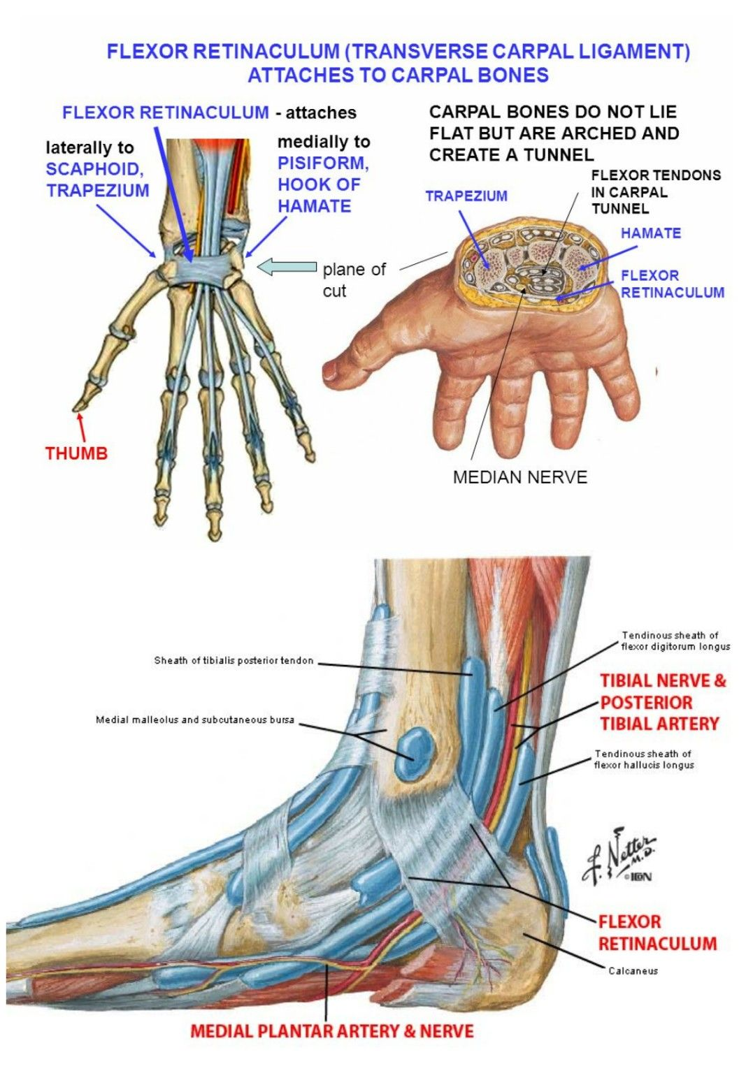 Flexor retinaculum ( Note: Obviously nerve involved in Tarsal tunnel ...