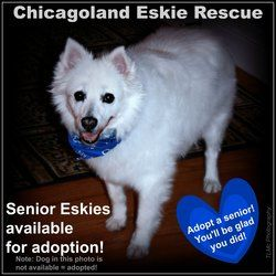 Adopt Senior Eskies On Dog Adoption American Eskimo Dog Adoption