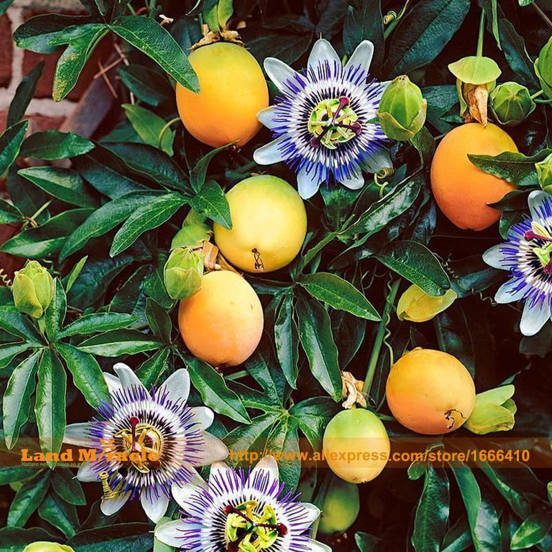 Organic Fruits Yellow Passionfruit Seed Rare Passiflora Climbing Flowers 20 Seeds Pack Easy Care Plan Passion Flower Plant Passion Fruit Plant Fruit Flowers