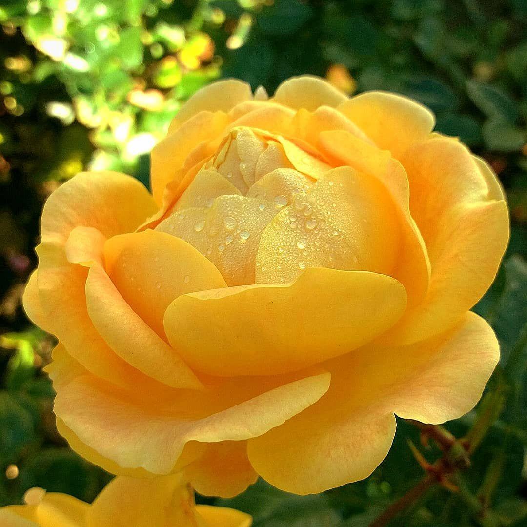 yellow love . . 9vaga_rose9 blume blumen bns
