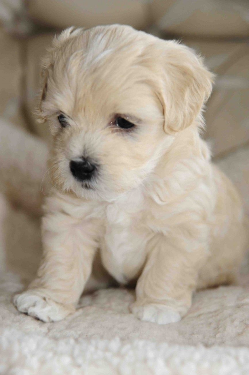 White Havanese Puppies Havanese Puppy Dog Http Www Zazzle Com