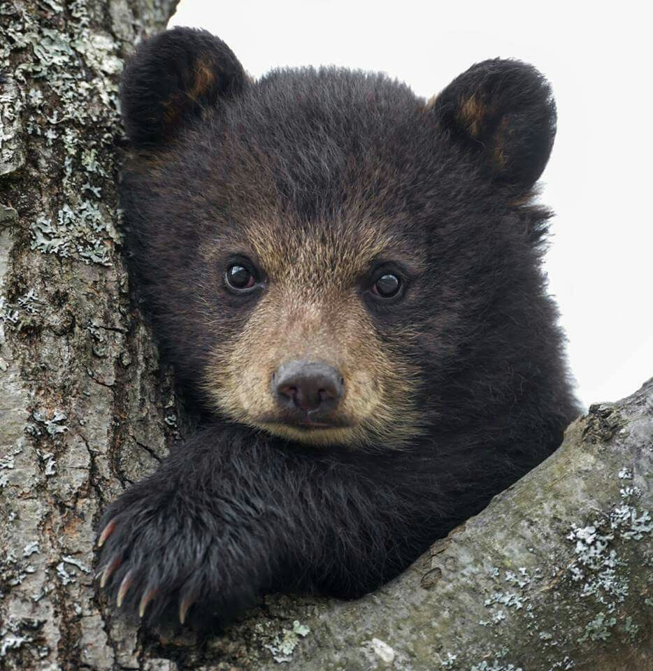Bear Cub Animals Bear Cubs Black Bear Cub Cute Animals