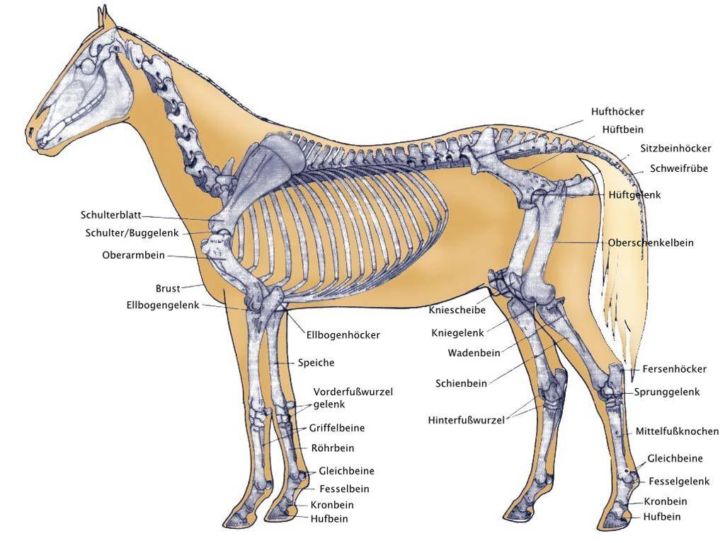 Pferde Anatomie Muskeln … | Pinteres…