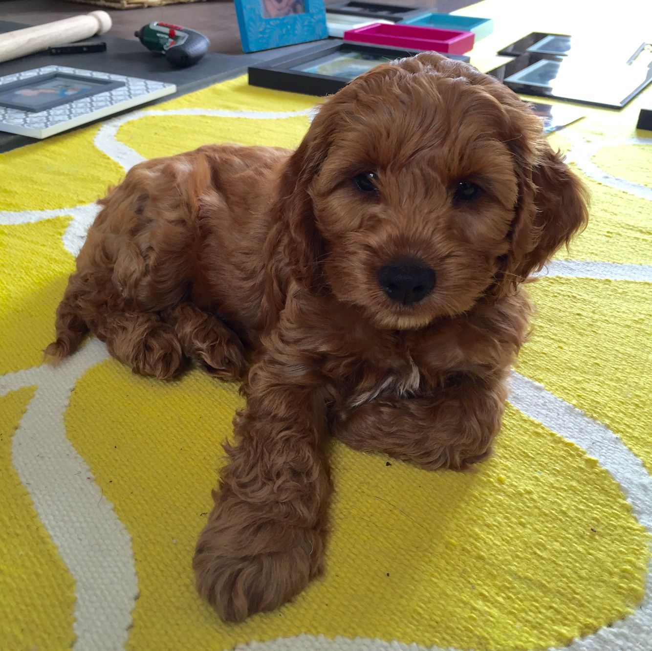 Teddy The Cockapoo Age 9 Weeks Colour Apricot Cockapoo