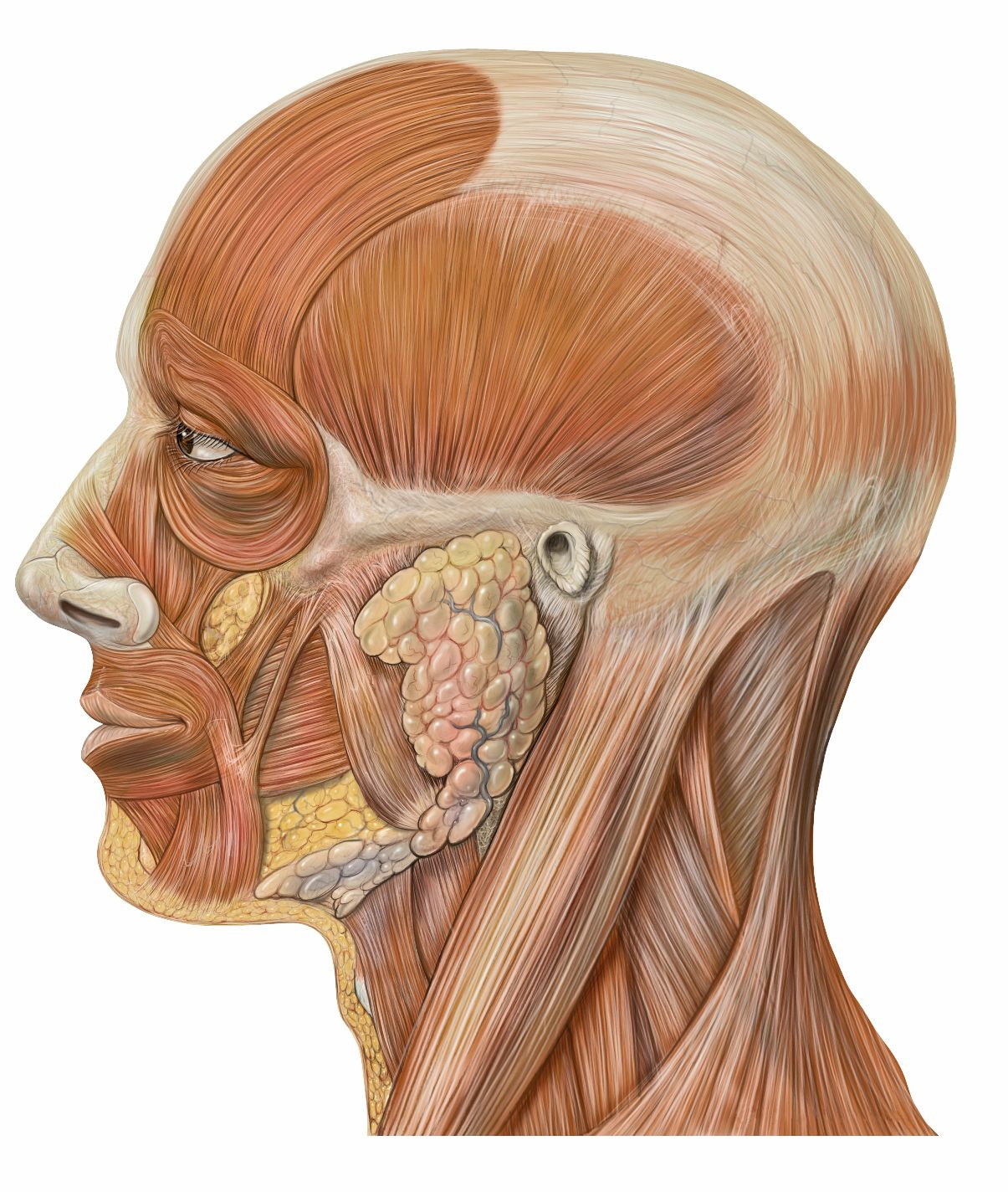 women's anatomy muscles face - google search | 3d model - topology, Muscles