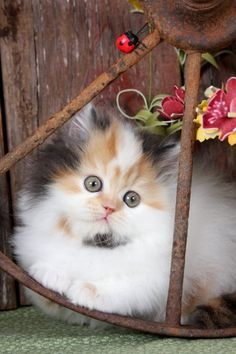 Calico Persian Kittens Persian Kittens Beautiful Cats Pretty Cats