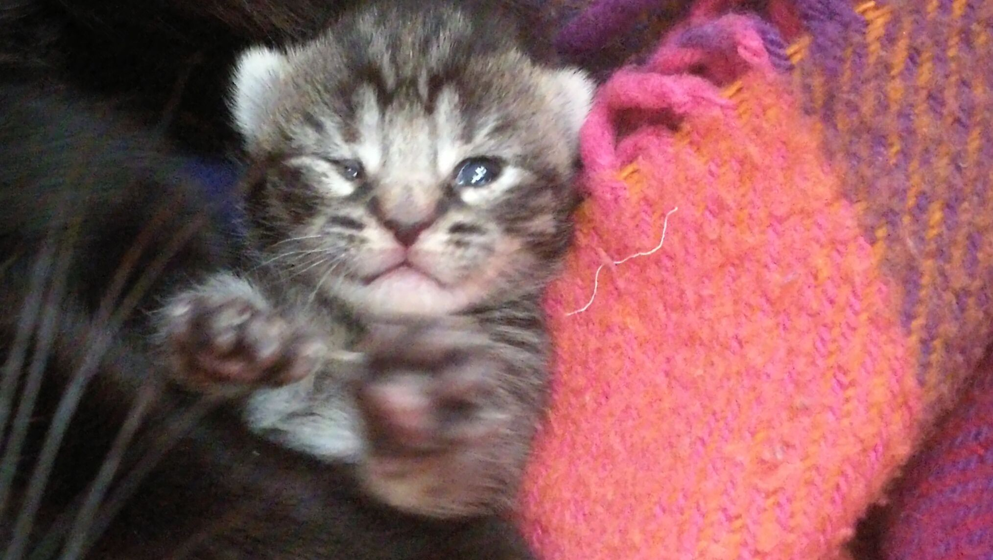 The Kittens Are 9 Days Old Now And Opening Their Eyes Here Is Ronja Saying Hi Kittens Cats Animals