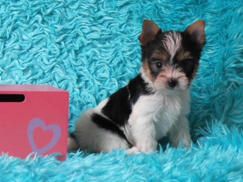 A girl parti yorkie puppy for sale in hebronky yorkie