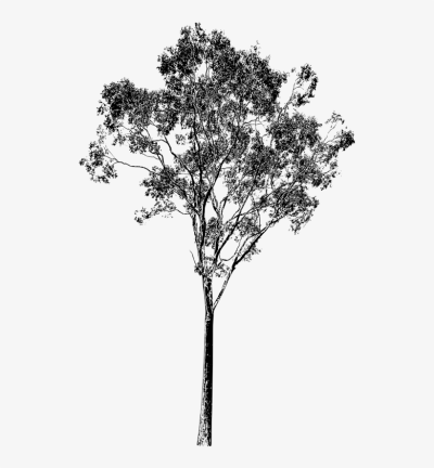 Download Free Png Eucalyptus Tree Drawing At Getdrawings
