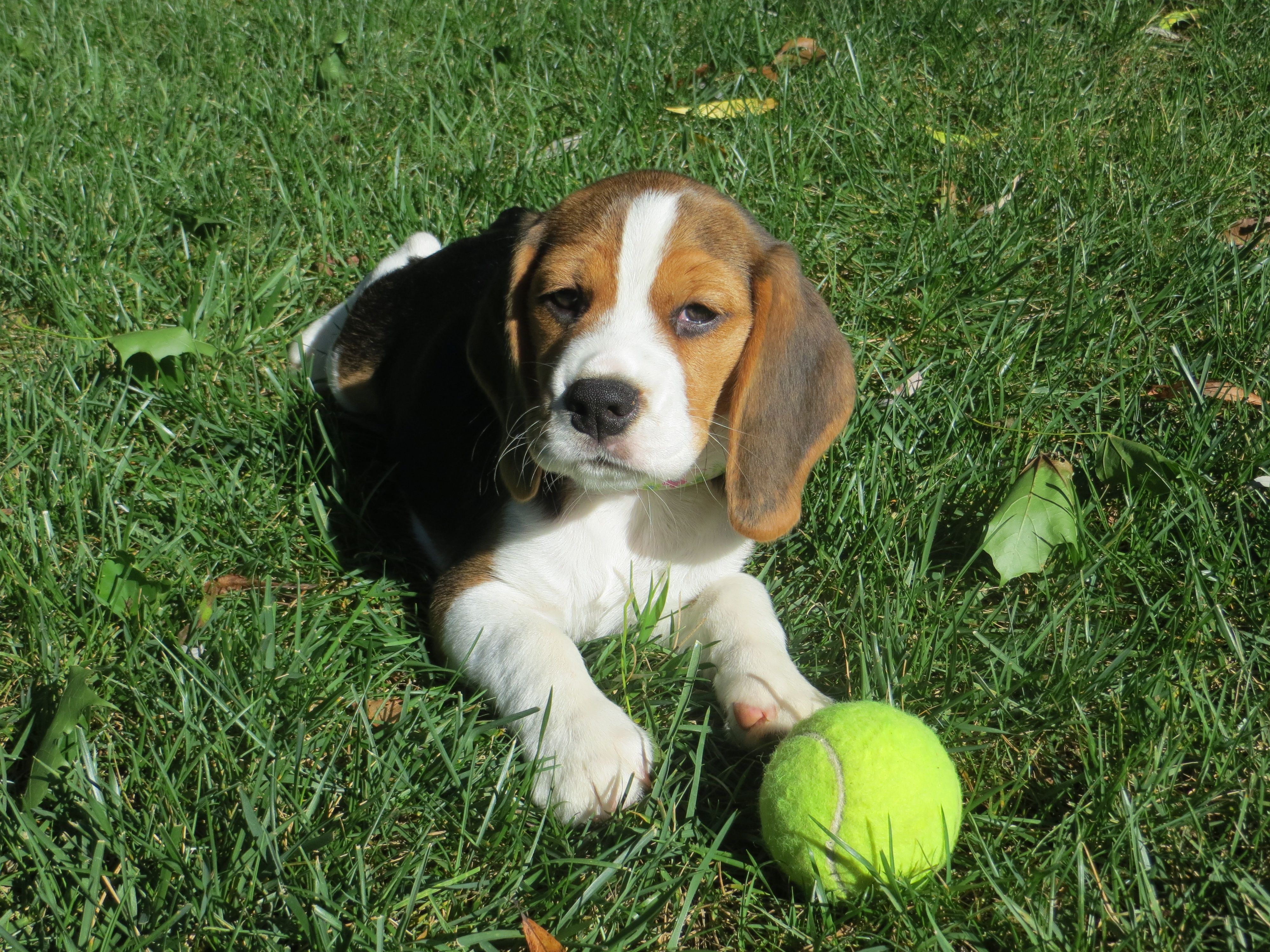 Beagle Puppies With Images Beagle Puppy Cute Puppies Beagle