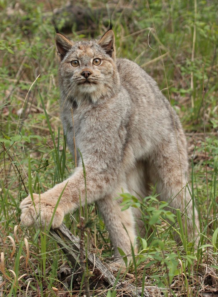 Canadian lynx North american animals, Wild cats, Feline