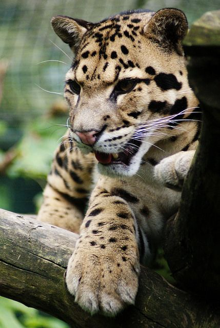 (9) Tumblr   Clouded leopard, Cool pets, Wild cats