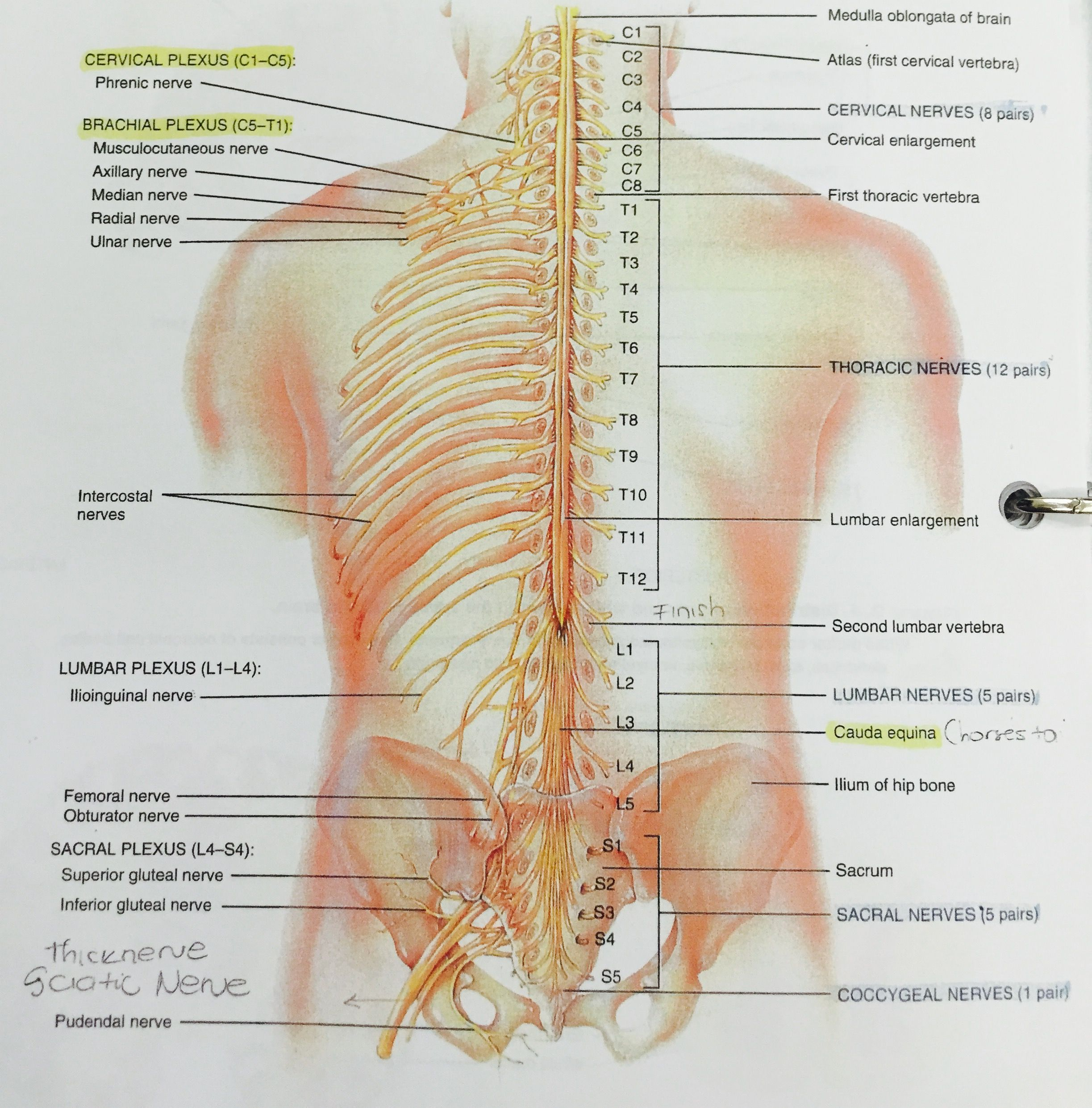 Posterior view of entire spinal cord and portions of spinal nerves ...