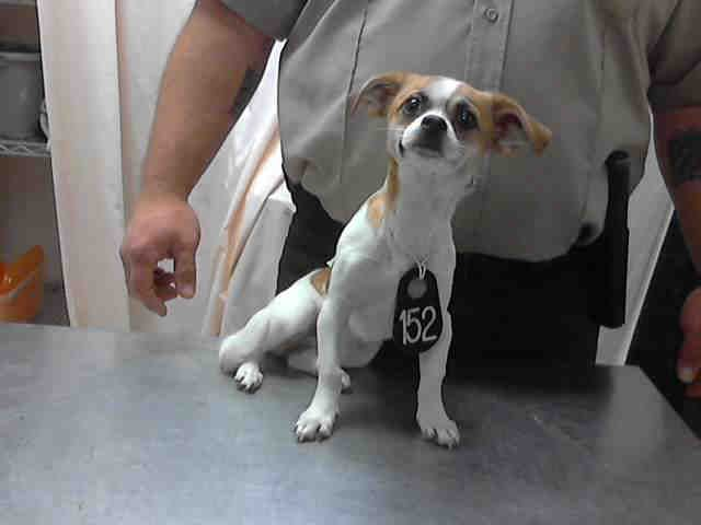 Texas Id A397866 Is A 4mos Chi Puppy In Need Of A Loving Adopter Rescue At Harris County Public Health Environmental Services 612 Canino With Images Dog Adoption