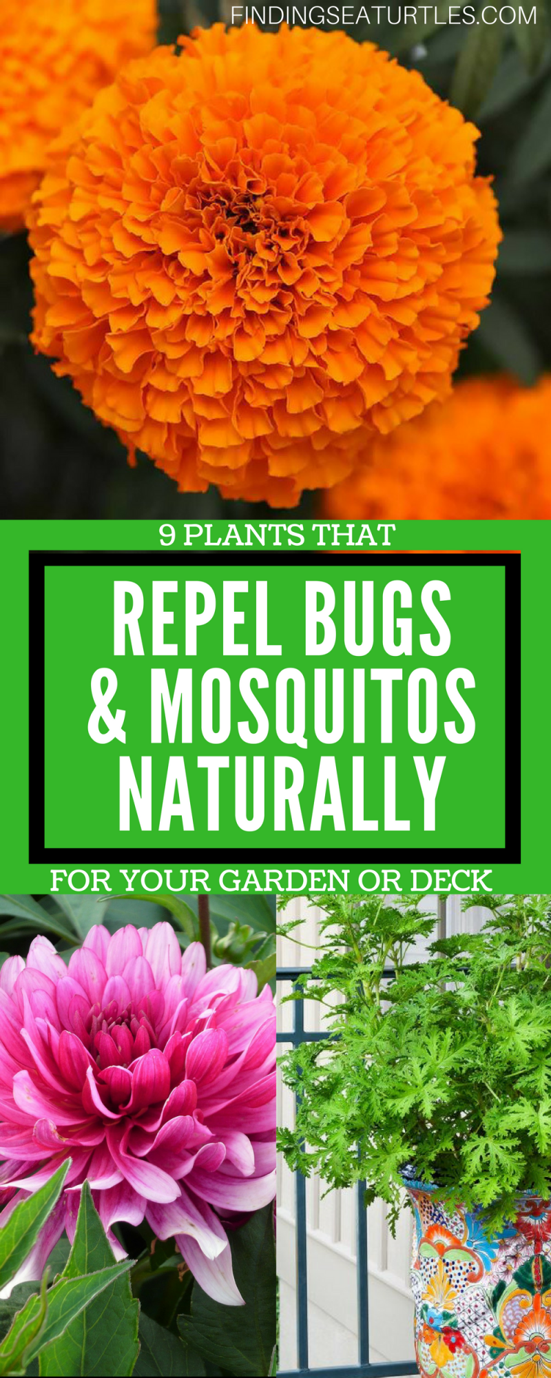 9 Plants That Repel Bugs Naturally Whiteflowerfarm Organic Natural Bugrepellingplants Lavender Gardening