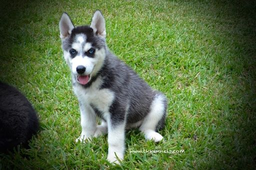 Siberian Husky Puppy For Sale In Grayson La Adn 46942 On