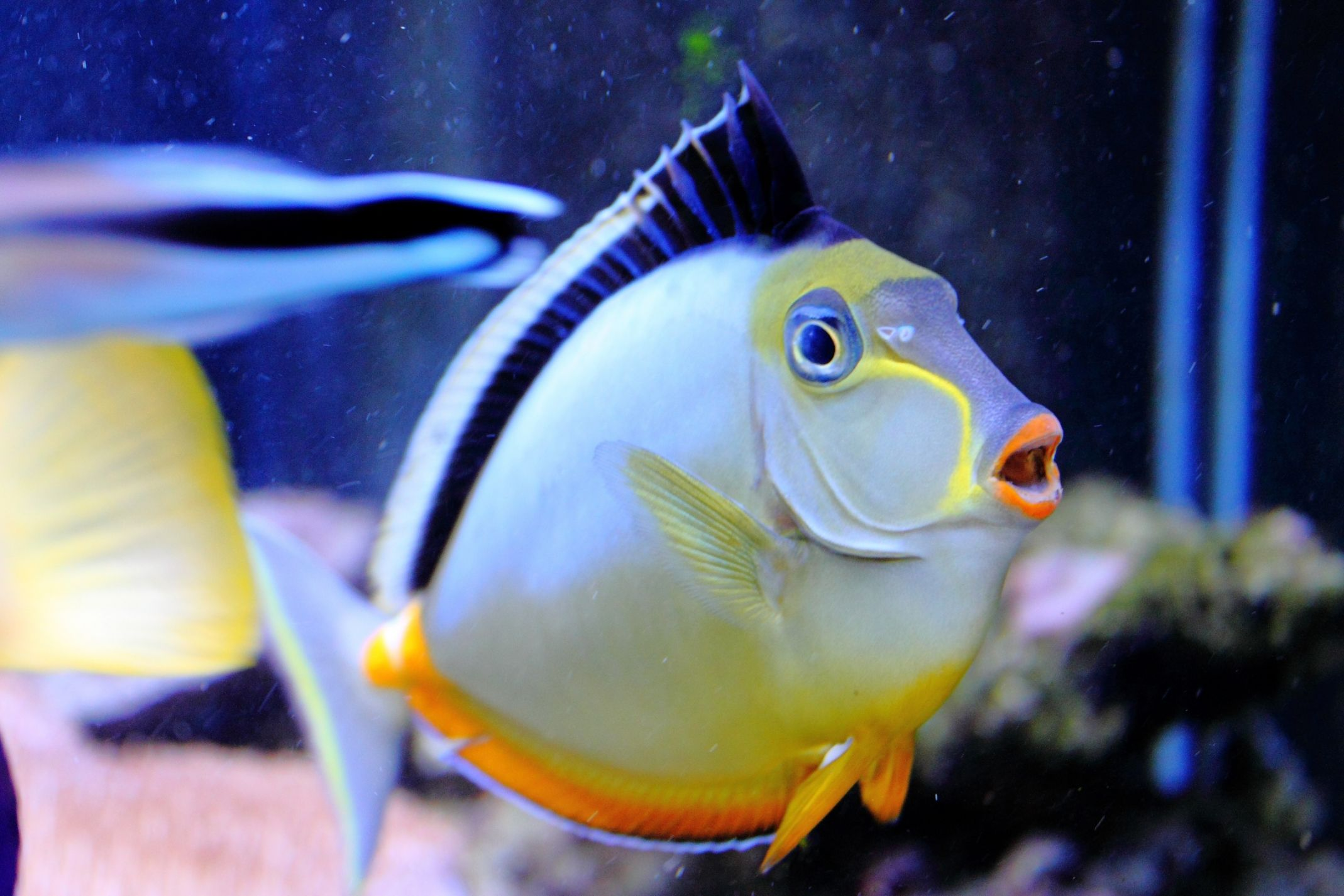 Naso Tang (Naso lituratus) | Bespoke Aquarium | Reef Safe Fish ...