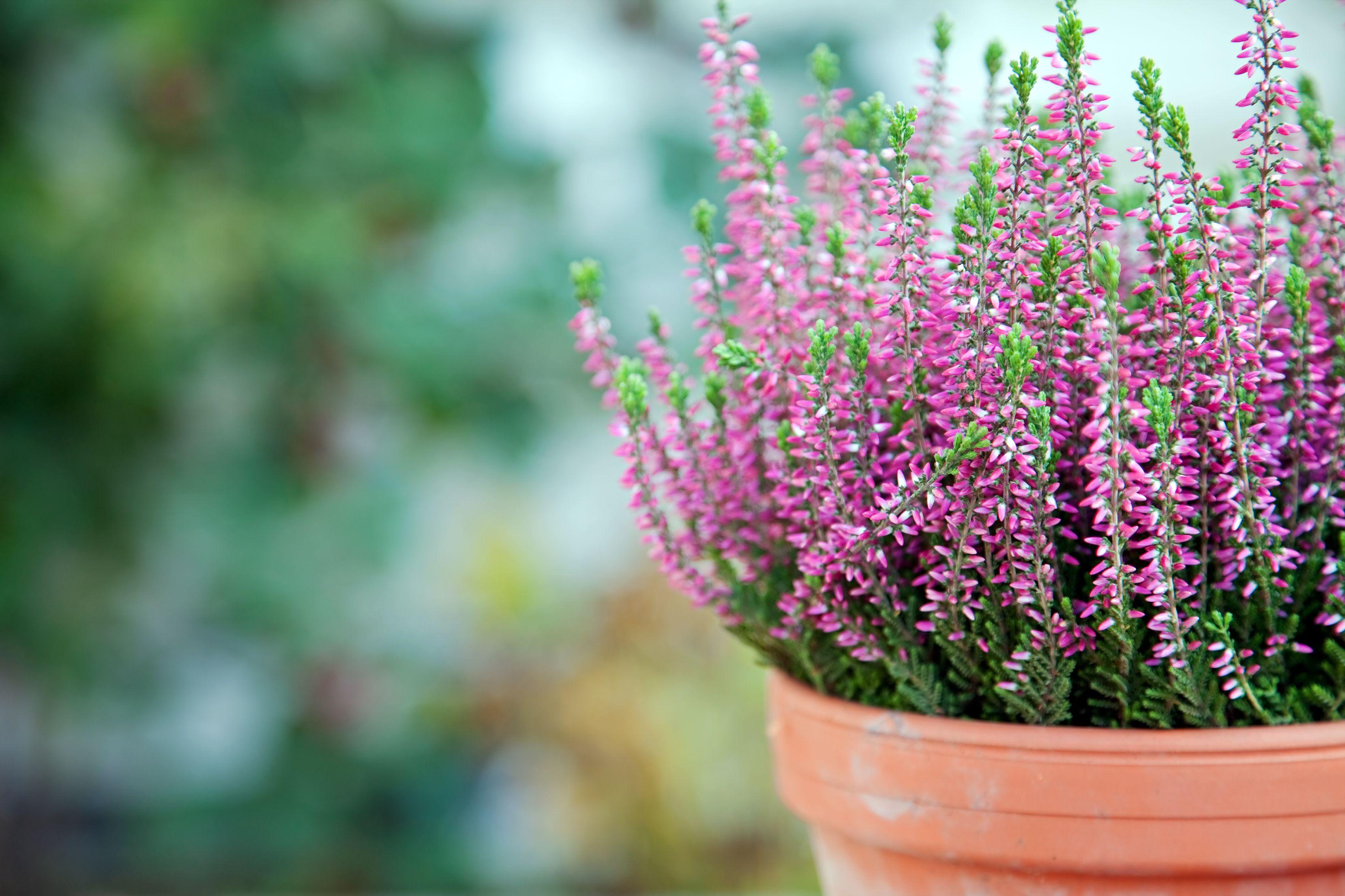 Herbstpflanzen Fur Terrasse Und Balkon Pflanzen Bepflanzung Heide Pflanzen