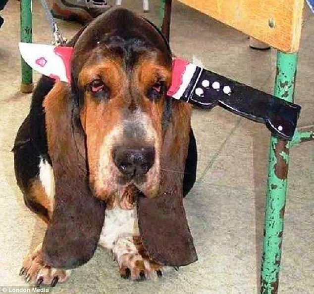 Not amused: This basset hound looks fairly unimpressed with his Halloween costume, which makes him look like a knife has been put through his head