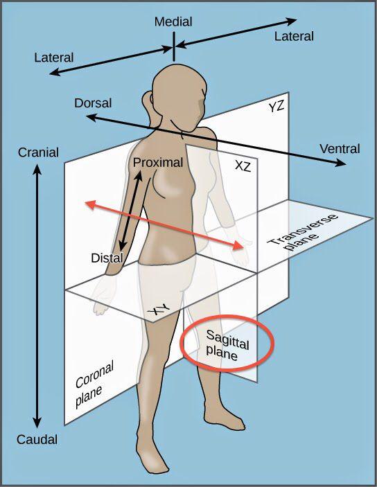 Planes of the body | Anatomía por imagen TSID | Pinterest | Anatomía