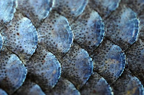 Tumblr M5u6xhyout1qjcmrao1 500 Png 500 331 Fish Scales Fish Legend Of Zelda Characters