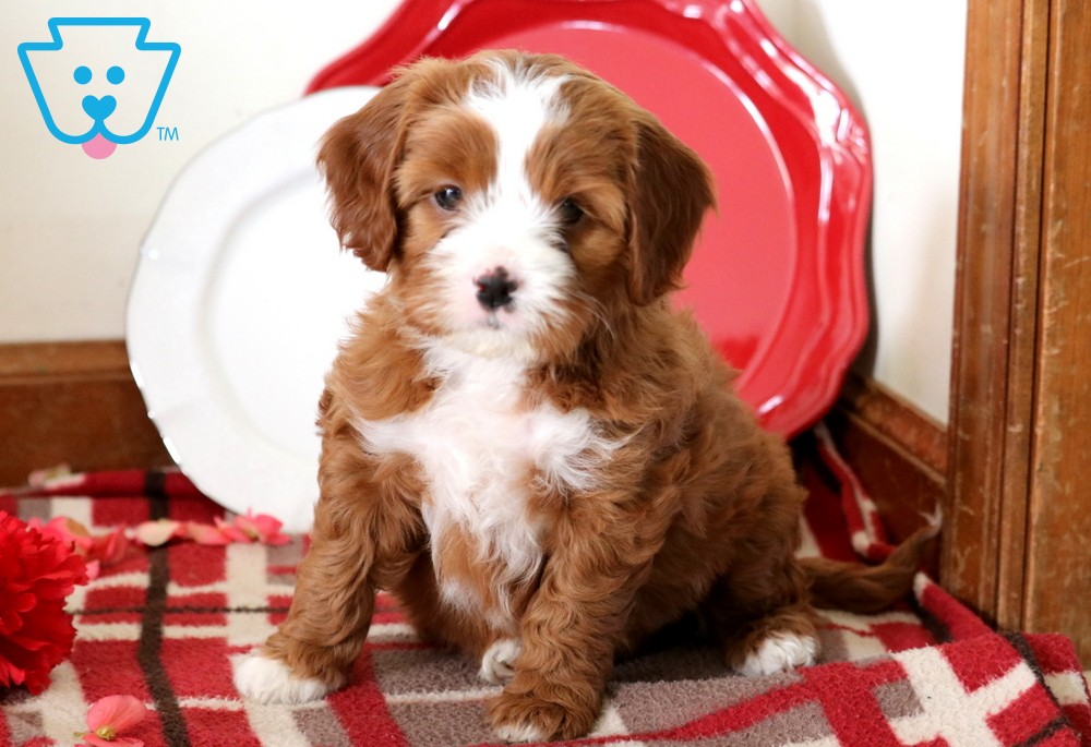 Baby Cavapoo Puppies Cavapoo Puppies For Sale Puppies For Sale