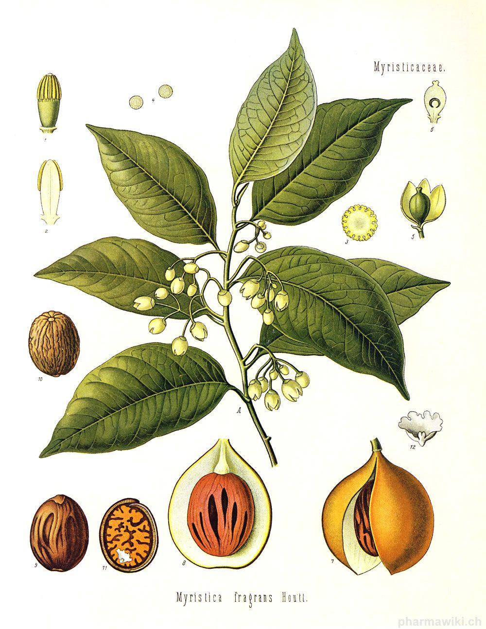 Muskatnuss 1 Jpg Pflanzen Natur Botanik