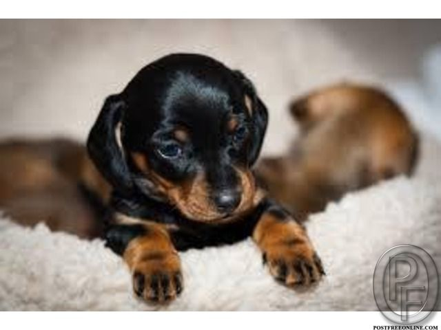 Dachshund Puppies Available For Sale In Mumbai Maharashtra India In Pet Animals And Accessories Cat Dachshund Puppies Black And Tan Dachshund Dachshund Puppy