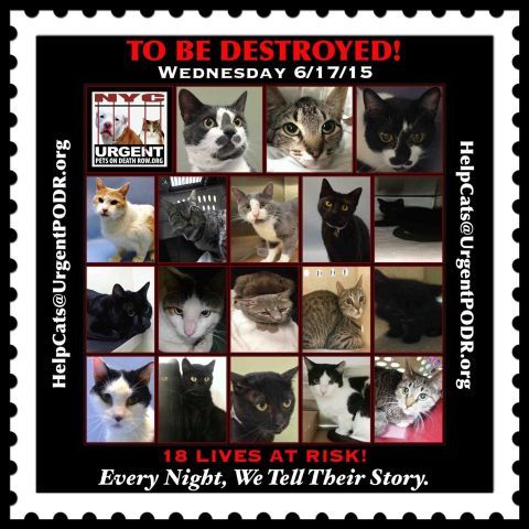 TO BE DESTROYED – 06/17/15 | NYC AC&C Urgent Cats
