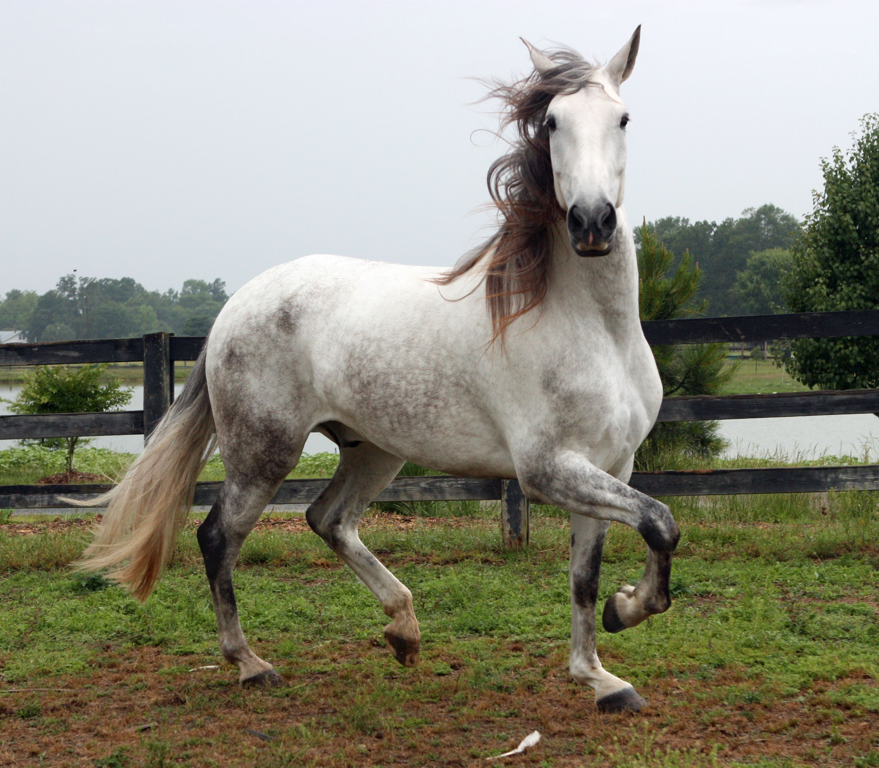 Andalusian Horse Nico The Pre Andalusian Grey Horses
