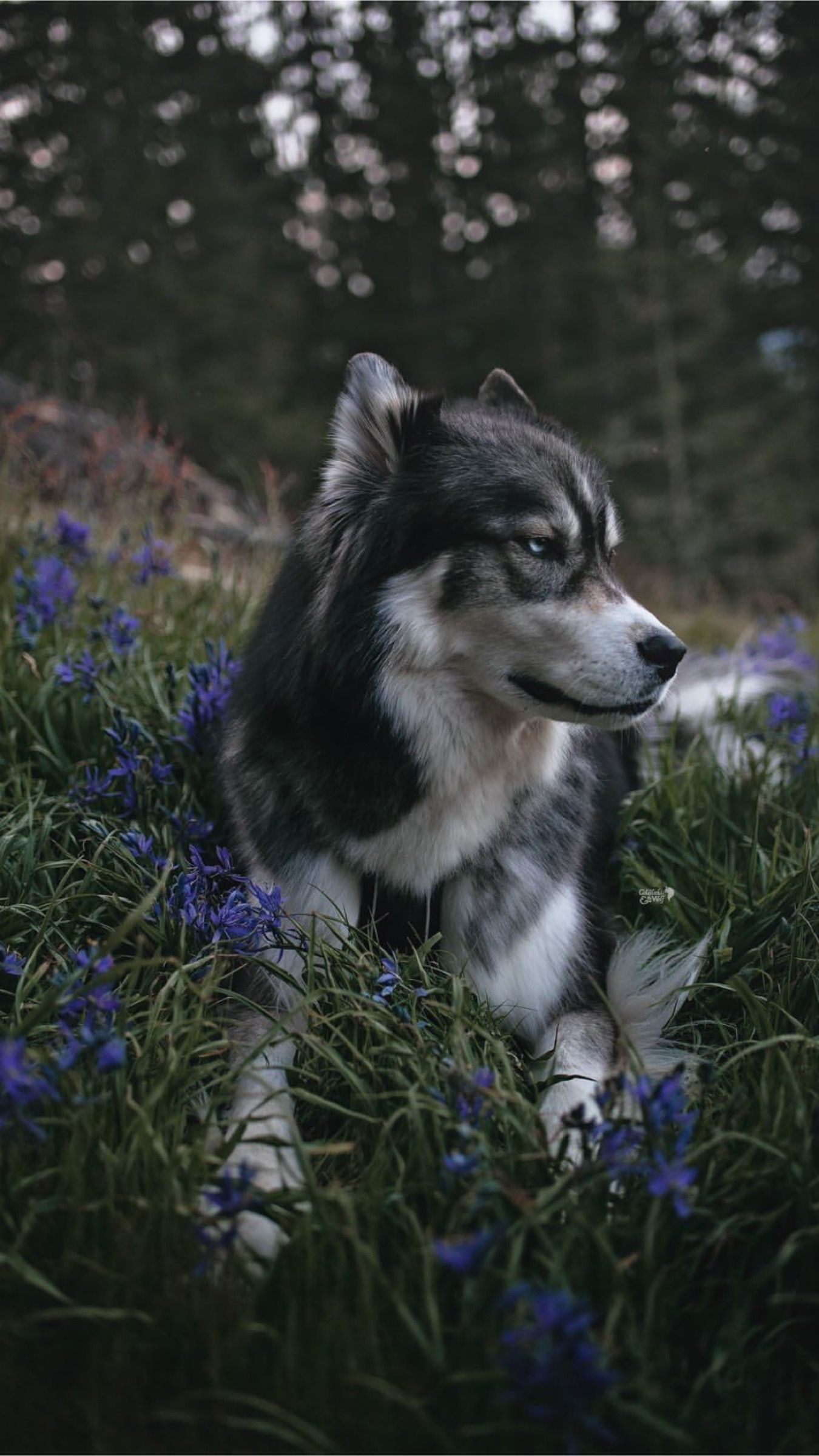 Pin by 𝕽𝖔𝖘𝖊𝖒𝖊𝖗𝔶 on Dogs Dogs, Animals, Husky