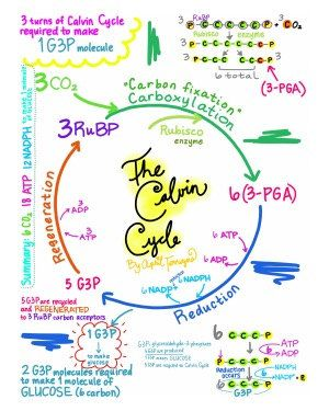what does the calvin cycle require