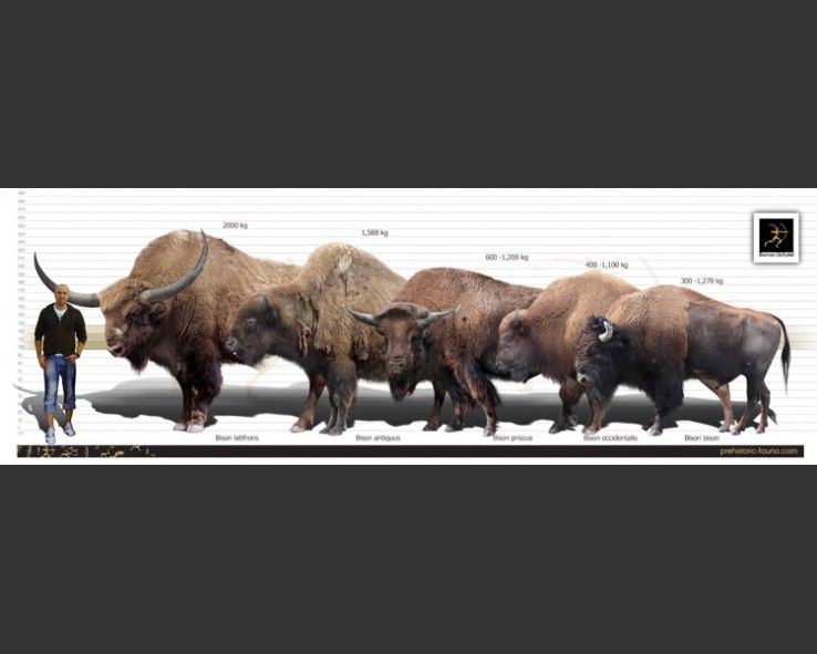 giant north american bison - Google Search