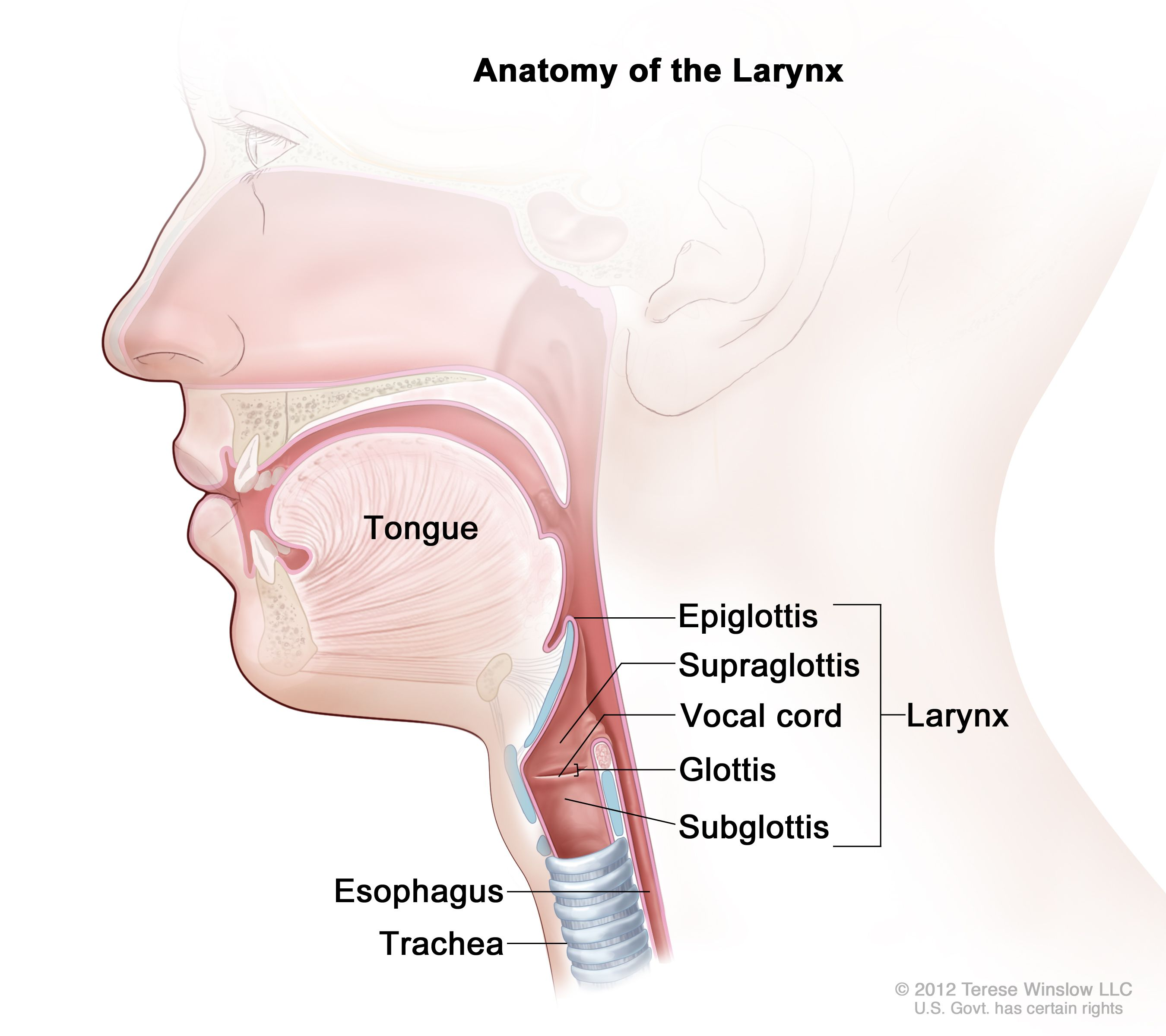 Laryngeal Cancer Treatment Adult Pdq Patients