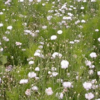 White meadow mix meadows paths topiary hedges pinterest white meadow mix meadows paths topiary hedges pinterest wild flowers wildflowers and seeds mightylinksfo