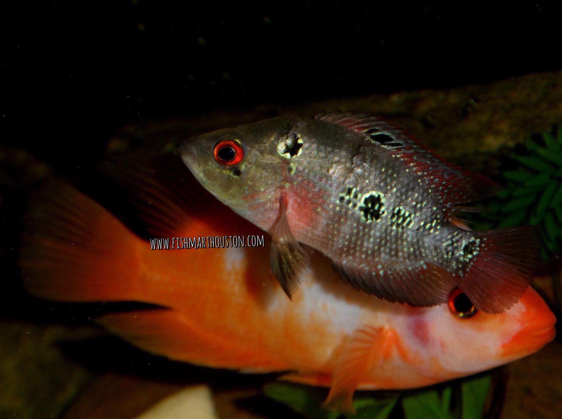 Flowerhorn (female) & Red Devil | FreshwaterFish | Fish, Goldfish