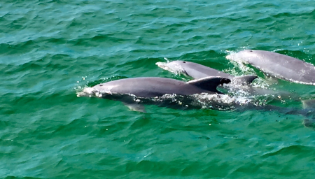 See dolphins by the dozen just past St. Andrew's State Park where the bay spills into the ocean. On this particular day, multiple pods of dolphins, including young offspring, swam near and around our boat.