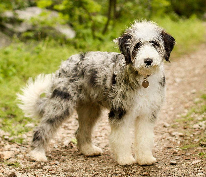 Aussiedoodle Mom Cotttonwood Creek Doodles Utah Aussiedoodle