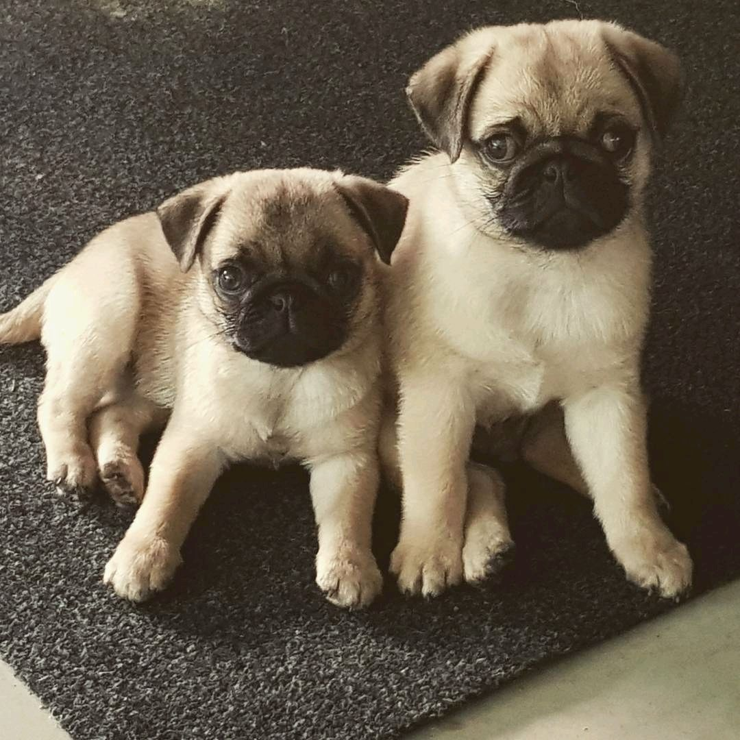 Thank You To Pugtwins Koda Maelee Pugsofinstagram Pug