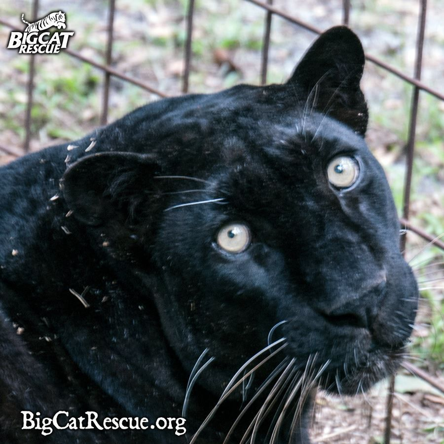Why the U.S. Needs to Ban Big Cat Ownership Cat
