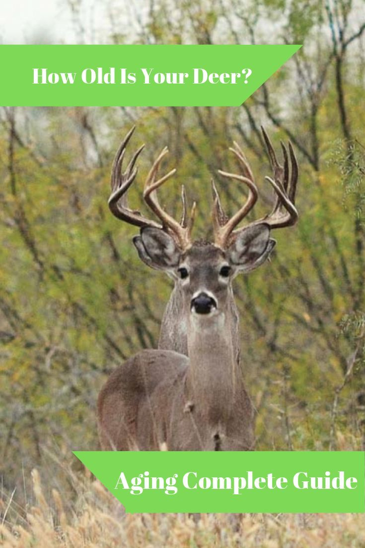 How do you age deer? well we have the complete guide to